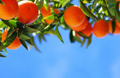 Ripe oranges on blue sky — Stock Photo