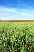 Texture of Green and arable field, under the bright sky. — Stock Photo