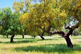 Cork oaks tree on field at Portugal — Stock Photo