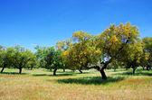 Cork oaks tree on field at Portugal — Stock Photo