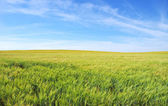 Wheat field under a blue sky  — Stock Photo