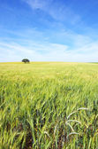Oak tree in a wheat field at Portugal.  — Stock Photo