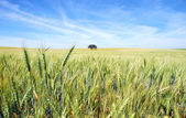 Spikes of wheat field at Portugal.  — Stock Photo