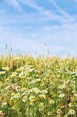 Wild chamomile flowers and wheat field  — Stock Photo