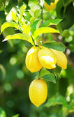 Bunch of ripe lemons on tree — 图库照片