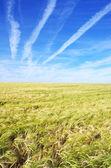 Wheat field under a blue sky — Stock Photo