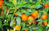 Rpe oranges on plant, orange tree — Stock Photo