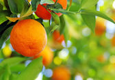 Ripe orange fruit on a tree — Stock Photo