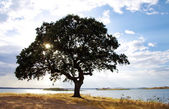 Oak tree near Alqueva lake — Stock Photo