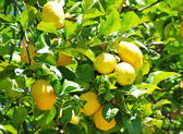 Ripe lemons hanging on a tree — Stock Photo