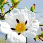 White rockrose in Mediterranean spring blossom — Stock Photo #50571643
