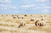 Herd of sheep on a field — Foto de Stock