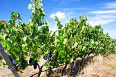 Red Wine Grapes on vineyard — Stock Photo