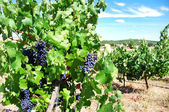 Grapes on vineyard, Alentejo,Portugal — Foto de Stock