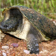 Stock Photo: Nesting snapping turtle
