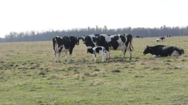 Holstein dairy cows — Stock Video