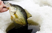Ice fishing crappie — Stock Photo