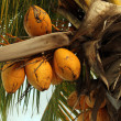 Coconuts on a palm tree - Stock Photo