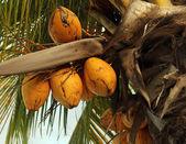 Coconuts on a palm tree — Zdjęcie stockowe