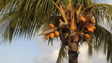 Coconut palm tree — Vídeo de stock