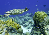 Sea turtle — Stock Photo