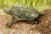 Snapping turtle eggs — Stock Photo