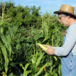 Farmers corn crop — Stock Photo