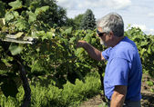 Wine maker checking grapes  — Stockfoto