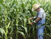 Farmer checking corn field — Stock Photo