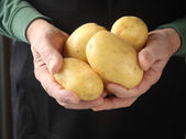 Yukon gold potatoes in hands — Stock Photo