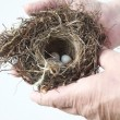 Bird nest with eggs in hands of man - Stock Photo