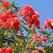 Rose bush - 