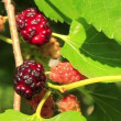 Mulberry - 