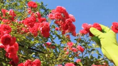 Rose bush — Stock Video