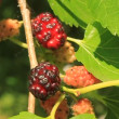 Mulberry - Stockfoto