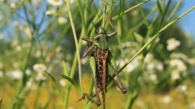 Seltene Arten der Heuschrecken — Stockvideo