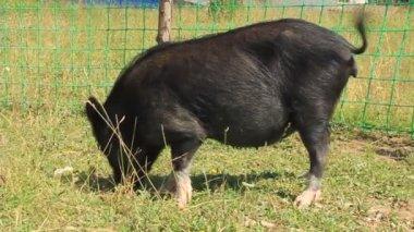Cerdo negro — Vídeo de Stock