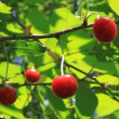 Cherry tree — Stock Video #12824453