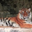 Amur tiger — Stock Video