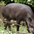 South American Tapir (Tapirus Terrestris) — Stock Video