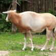 Stock Video: Oryx. Scimitar-horned oryx gazella