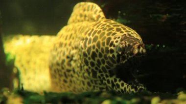 Dragon moray eel (Muraena) — Stock Video