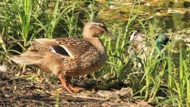Wild duck — Stock Video