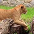 Stock Video: Africlioness