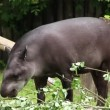 South american Tapir. Tapirus Terrestris — Stock Video