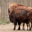 European bison. Bison bonasus - Stock Photo