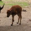 European bison. Baby Bison bonasus — Stock Video