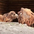 Two-humped camels — Stock Video