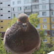 Stock Video: Pigeon