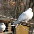 Stock Video: White pigeons